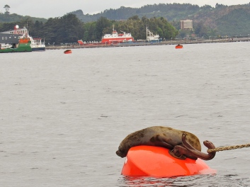 Sea lions on anchors