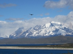 Condor in Torres del Paine