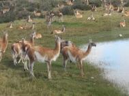 Guanaco herd