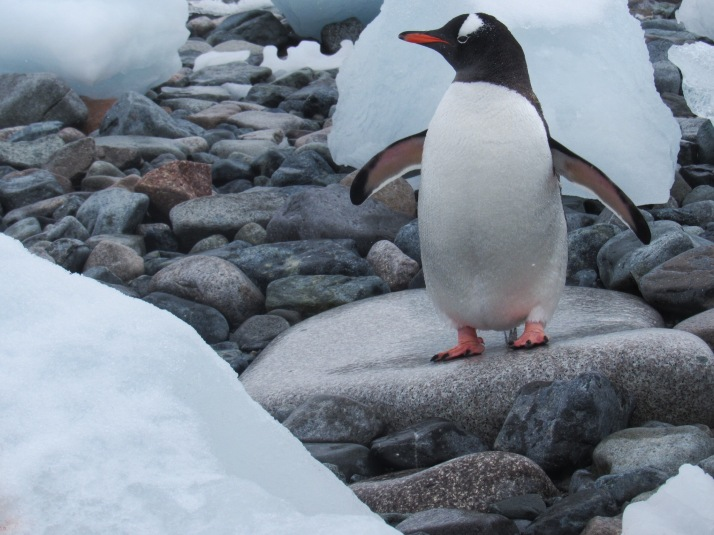 Gentoo penguin catwalk