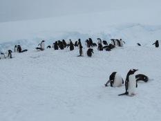 Penguins in fresh snow