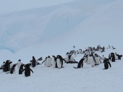Penguins in the snow