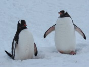 Gentoo penguins chatting