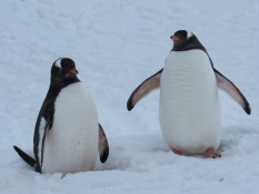 Gentoo penguins chatting