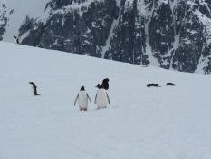 Penguins strolling
