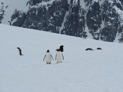 Penguins strolling