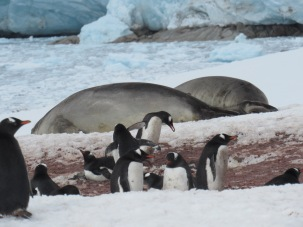 Elephant seals amongst penguins