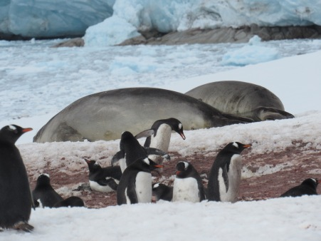 Elephant seals amongst penguins