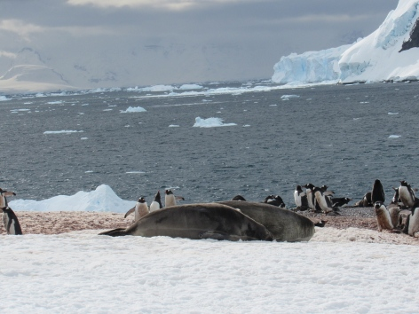 Elephant seals and penguins
