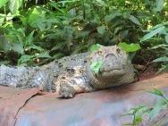 Caiman (alligator)