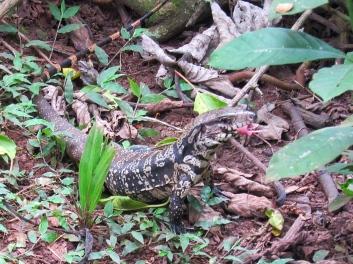 Lizard at Iguazu