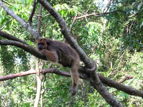 Howler monkey