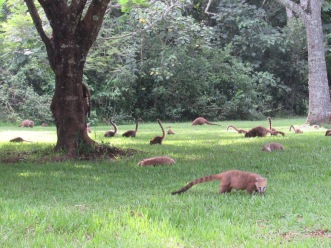 Coati troop