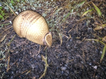 Armadillo in the Chaco