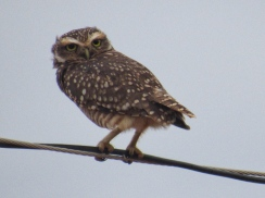 Owl in the Chaco