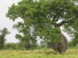 Bottle tree - Chaco
