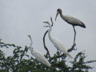 Chaco water birds 1