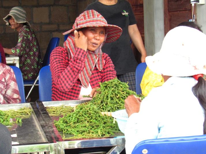 Sorting Kampot pepper