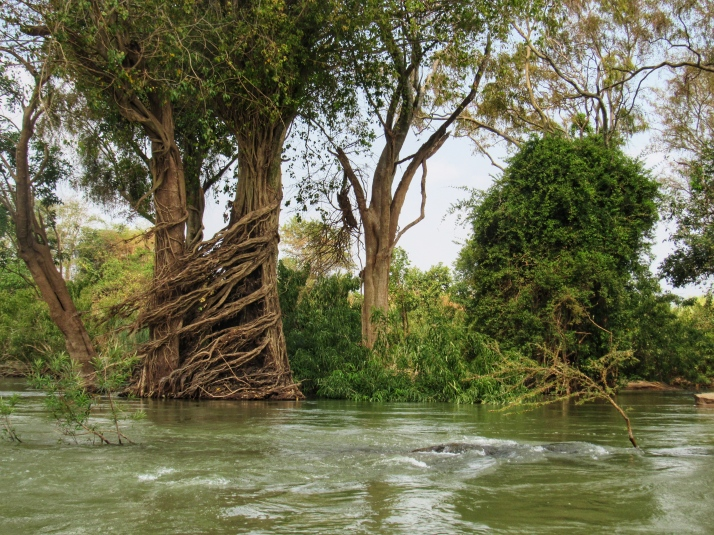 Two trees hugging in the flooded forest