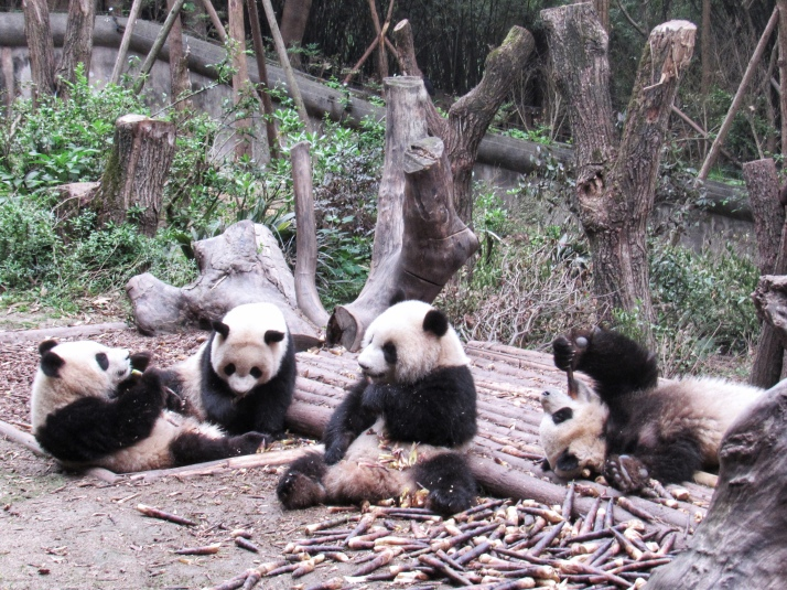 Baby pandas eating bamboo