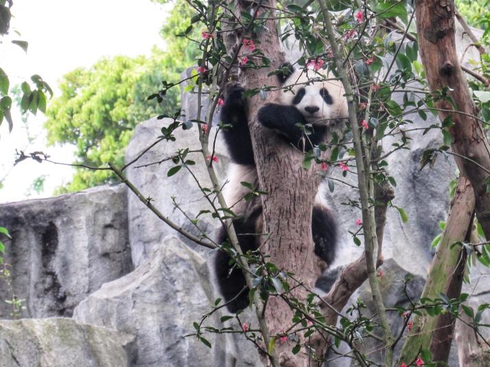 Panda cub climbing a tree